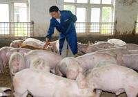 金豬年全國最缺的是什麼?  缺肥豬,缺母豬,缺仔豬,缺的都是豬
