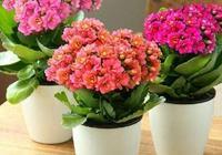 夏天養長壽花,做好這4點,一個勁的猛長,花色豔麗,爆盆很簡單