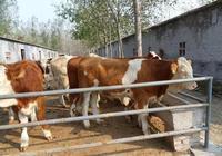 養牛新模式:生態養牛,生態養牛的好處