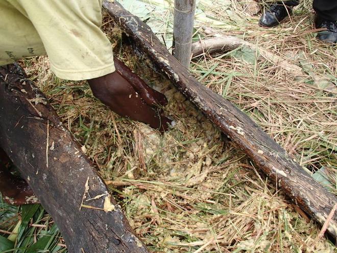 香蕉王國烏干達,特色香蕉啤酒,腳踩香蕉,搗成泥釀製而成