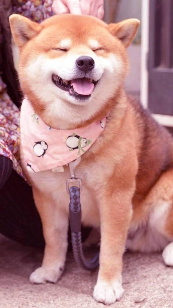 柴犬 拯救你的不開心!壁紙抱走 養一隻柴犬是什麼體驗?