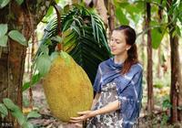 多年樹齡菠蘿蜜為啥不結果?如果您這樣管理,不但結果還優質高產