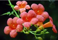 如何種植凌霄花?您瞭解凌霄花有什麼功效與作用嗎?