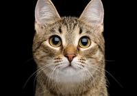 狸花貓的智商是怎樣的?