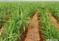 生薑種植技術:種植大姜怎麼施肥好?