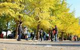 遼寧大學銀杏路進入觀賞期 滿眼金黃吸引大批遊客