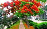 鳳凰木上鳳凰花開,五月的大火燃上了枝頭
