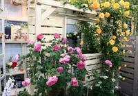 月季第一季花後,3個養護小技巧,又會冒出花苞來,數量多1倍!