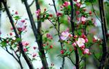 繁花攝影欣賞:西府海棠 ,最愛看花!