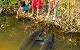 這可能是世界上最大膽的淡水魚了,不僅不怕人類還愛圍觀人類