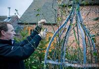 爬藤月季修剪是養護過程中非常重要,那麼爬藤月季怎麼修剪呢