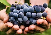 淺談酵母對葡萄酒風味的影響