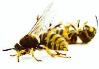 蜂王的生命期是多久?
