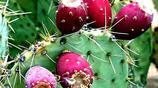 """一種滿身帶刺的""""仙桃"""",能美容增壽,吃它可是個技術活"""