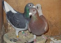 飼養賽鴿成功的祕訣是什麼?