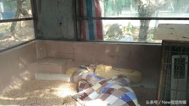 走進東莞香市動物園,看最大黃金蟒蛇