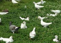 鴿子吃什麼下蛋快,鴿子吃什麼食物好?