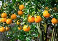 茂谷柑、沃柑、沙糖橘 三大品種栽培管理技術!滿滿都是乾貨!