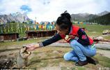 在青藏高原上有這樣一種老鼠 見到遊客賣萌要零食 遊客總是被它的呆萌和友好所感動