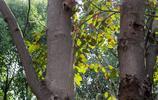七葉樹別名娑羅樹,種子可作藥用,榨油可製造肥皂