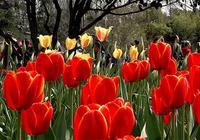 庫肯霍夫花園:邂逅荷蘭的春天