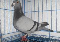 公棚拍鴿子,什麼鴿子買,什麼鴿子不買