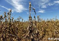 種植大豆能否達到畝產500斤,大豆產量與哪些因素有關?