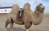 駱駝:基本介紹