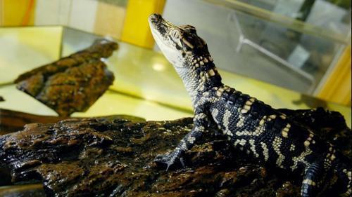 在美中國留學生攜幼鱷搭車被舉報 涉違法遭控告