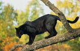 動物圖集:凶殘少見的黑豹