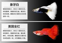 小型熱帶觀賞魚——孔雀魚