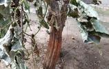 實拍:一直在外打工,中秋回到農村老家,院子裡的石榴樹都這樣了