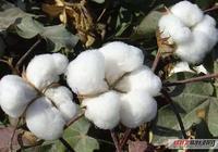 7.14今日最新棉花價格行情走勢:今日棉花多少錢一噸?