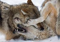 深山狼王(9):一人獨戰三頭狼