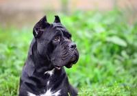 羅威納犬vs卡斯羅犬,終極對決