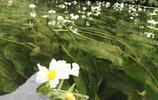 長在水裡,開在水面上的花,不知道學名叫什麼