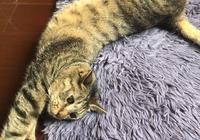 小貓墜樓,主人花費近萬元救治,只為彌補沒關窗的過錯,還好活了