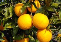 十月份柑橘怎麼管理?十月份柑橘管理要點