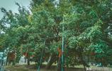紅豆生南國,江陰顧山有一座紅豆村,村裡有一株千年紅豆樹
