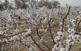 探訪新疆第一春,杏花醉遊人,天山南北好風光,赴一場春天的約會