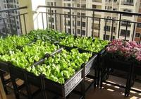 秋天陽臺種這些蔬菜,抗凍,個大,似盆景,一冬天有菜吃