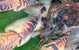 比帝王蟹還大隻的叫做椰子蟹,擅長爬樹摘椰子,市場價格昂貴!