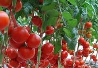 要想種出口感好,產量高,品質好的番茄,這幾點管理要做好