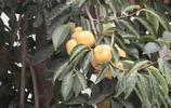 農家院房前屋後的柿子樹!你家有嗎?