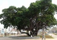 千萬別因為美觀就在院子裡種這些樹!