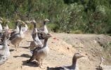 人工飼養的大雁,無憂無慮,成群結夥,每天就知道玩