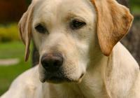 金毛拉布拉多和哈士奇這三大無攻擊性犬,養了它們你就別安生了!