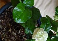 重瓣茉莉和單瓣茉莉的區別,你更喜歡哪種?
