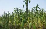 芝麻開花節節高!看看芝麻的收割過程,農民真不容易!