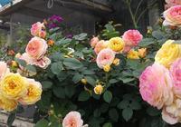 """夏季養月季和三角梅,做到""""4不缺"""",花芽嗖嗖冒,花開不停"""